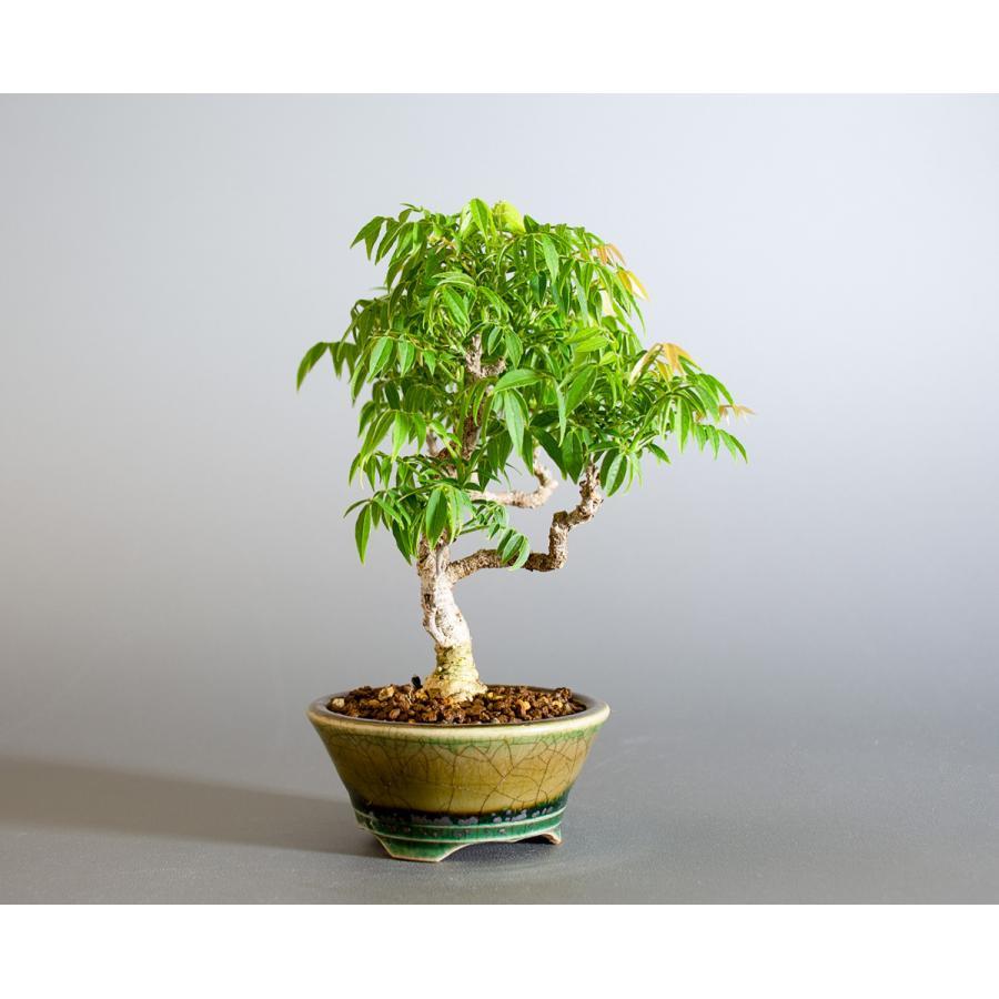 盆栽 コフジ盆栽(こふじ・ミニ 小藤盆栽)小品盆栽 4177|e-bonsai|04