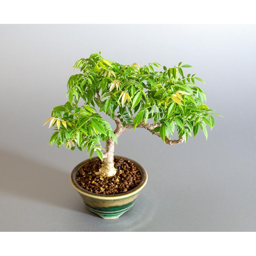盆栽 コフジ盆栽(こふじ・ミニ 小藤盆栽)小品盆栽 4177|e-bonsai|05