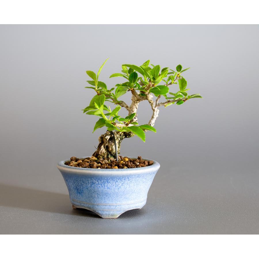 豆盆栽 ツルウメモドキ盆栽(つるうめもどき・照葉蔓梅擬 豆盆栽)小さな盆栽 4178|e-bonsai