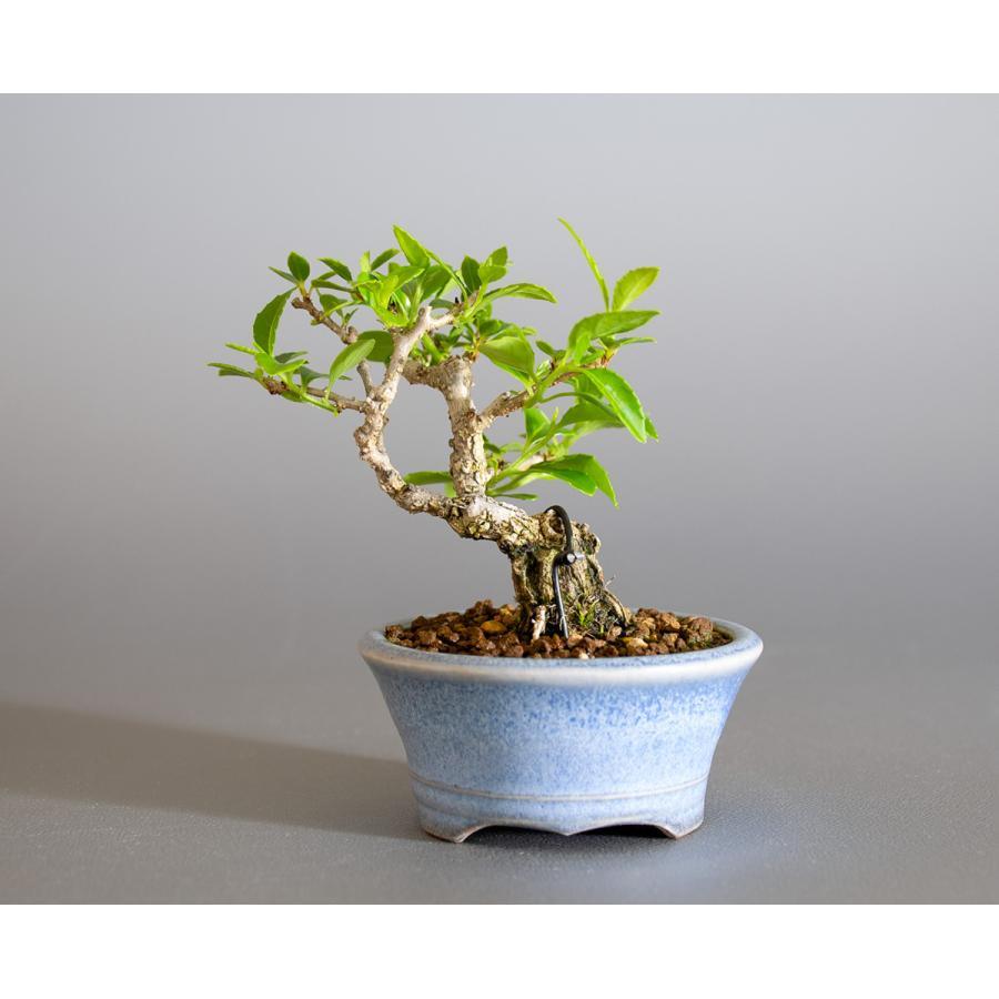 豆盆栽 ツルウメモドキ盆栽(つるうめもどき・照葉蔓梅擬 豆盆栽)小さな盆栽 4178|e-bonsai|02