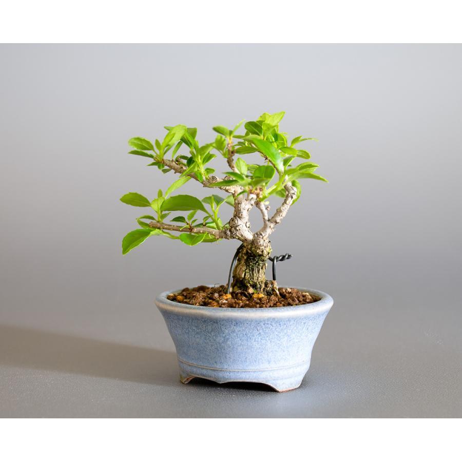 豆盆栽 ツルウメモドキ盆栽(つるうめもどき・照葉蔓梅擬 豆盆栽)小さな盆栽 4178|e-bonsai|03