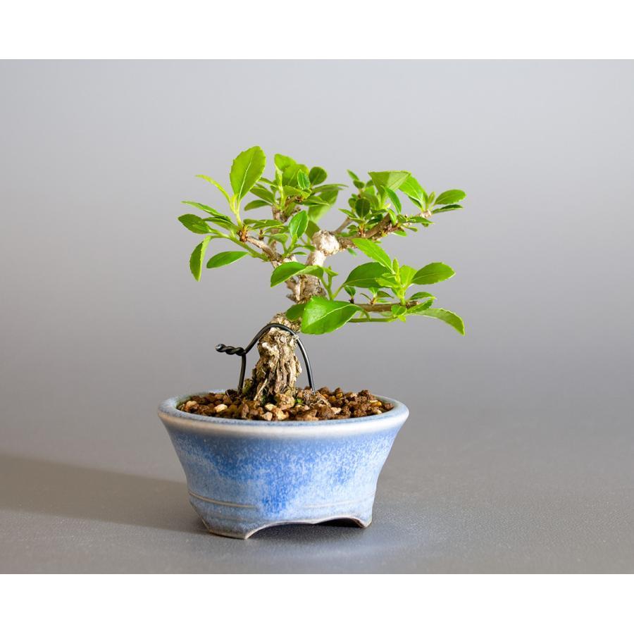 豆盆栽 ツルウメモドキ盆栽(つるうめもどき・照葉蔓梅擬 豆盆栽)小さな盆栽 4178|e-bonsai|04