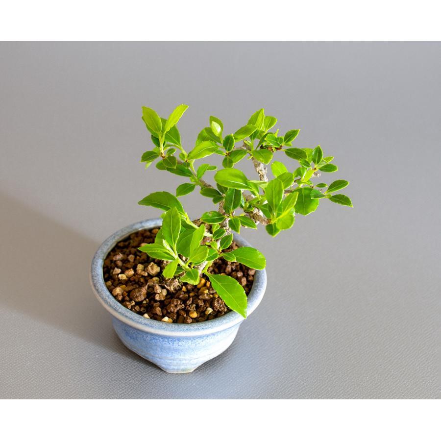豆盆栽 ツルウメモドキ盆栽(つるうめもどき・照葉蔓梅擬 豆盆栽)小さな盆栽 4178|e-bonsai|05