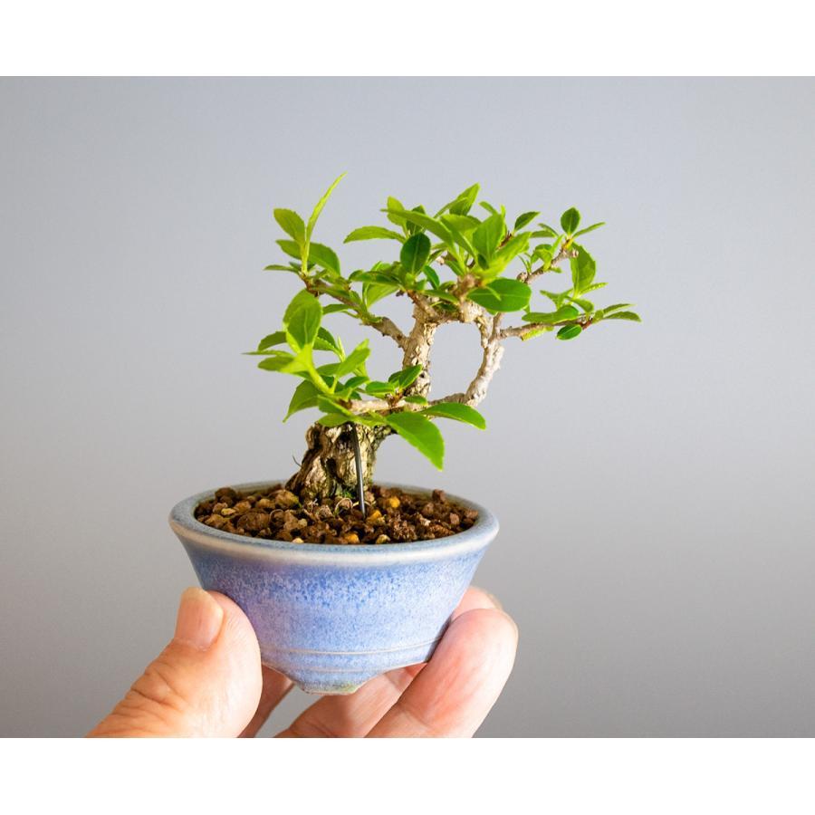 豆盆栽 ツルウメモドキ盆栽(つるうめもどき・照葉蔓梅擬 豆盆栽)小さな盆栽 4178|e-bonsai|06