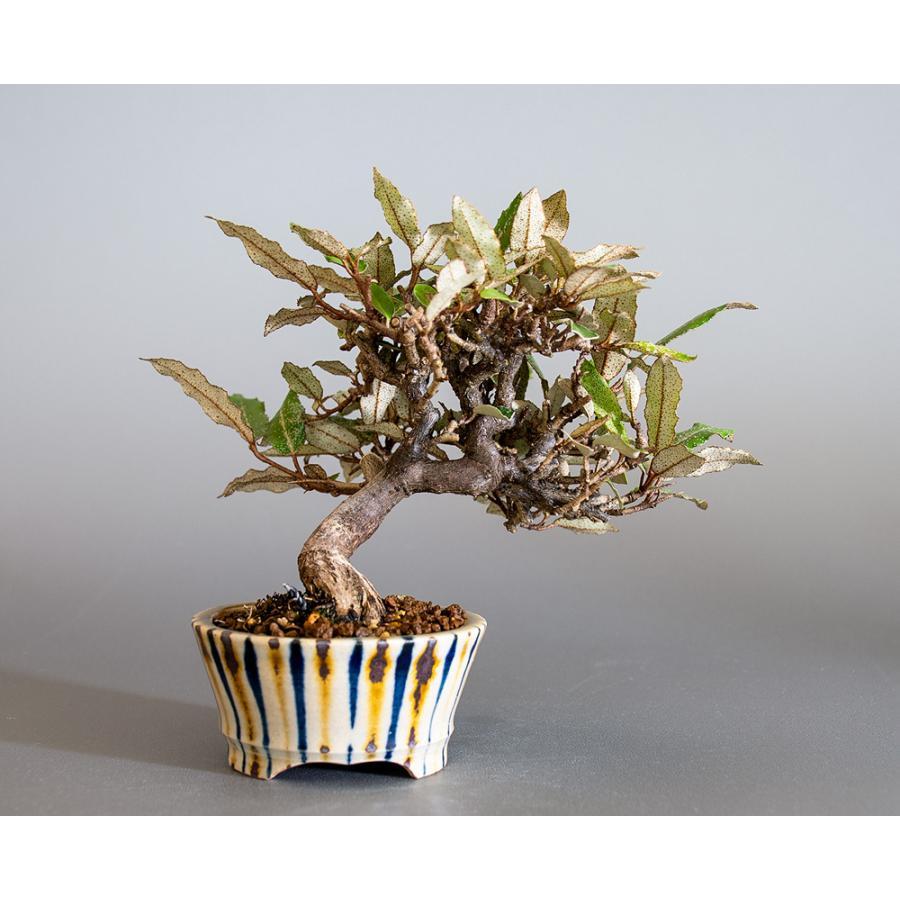 盆栽 カングミ盆栽(かんぐみ・ミニ 小葉性寒茱萸盆栽)小品盆栽 4180 e-bonsai 02