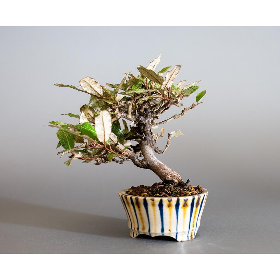 盆栽 カングミ盆栽(かんぐみ・ミニ 小葉性寒茱萸盆栽)小品盆栽 4180 e-bonsai 03