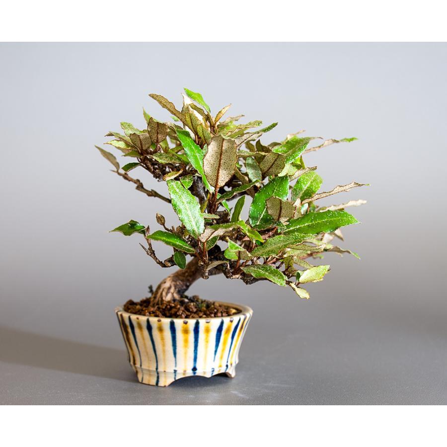 盆栽 カングミ盆栽(かんぐみ・ミニ 小葉性寒茱萸盆栽)小品盆栽 4180 e-bonsai 04