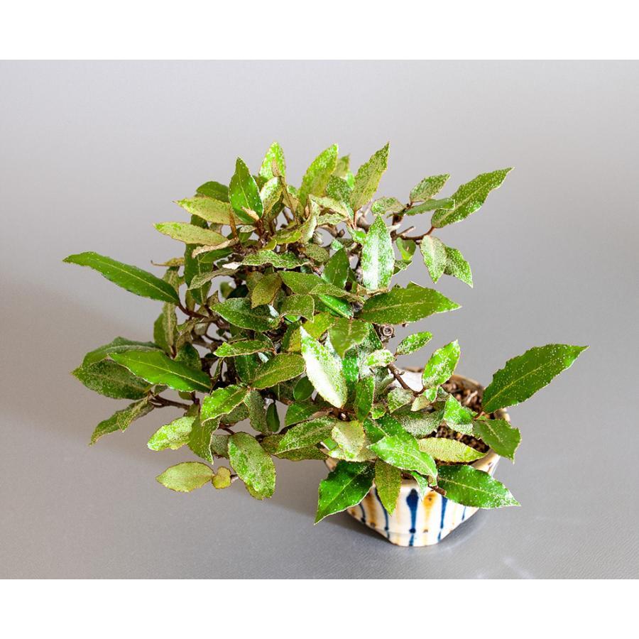 盆栽 カングミ盆栽(かんぐみ・ミニ 小葉性寒茱萸盆栽)小品盆栽 4180 e-bonsai 05