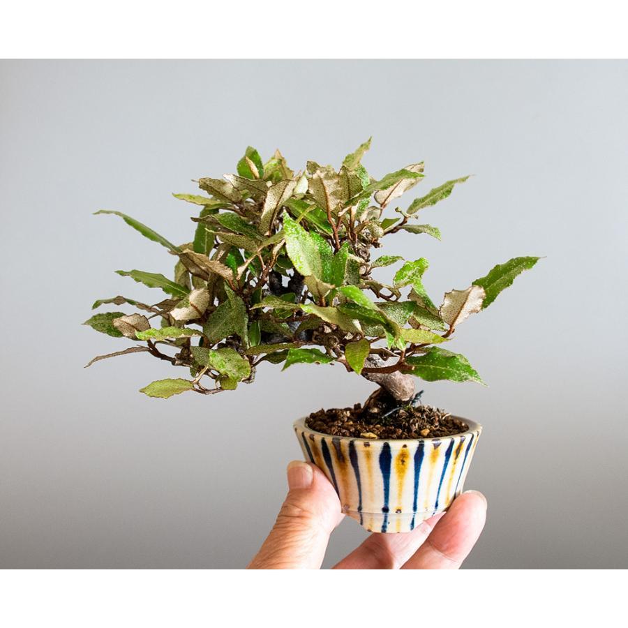 盆栽 カングミ盆栽(かんぐみ・ミニ 小葉性寒茱萸盆栽)小品盆栽 4180 e-bonsai 06