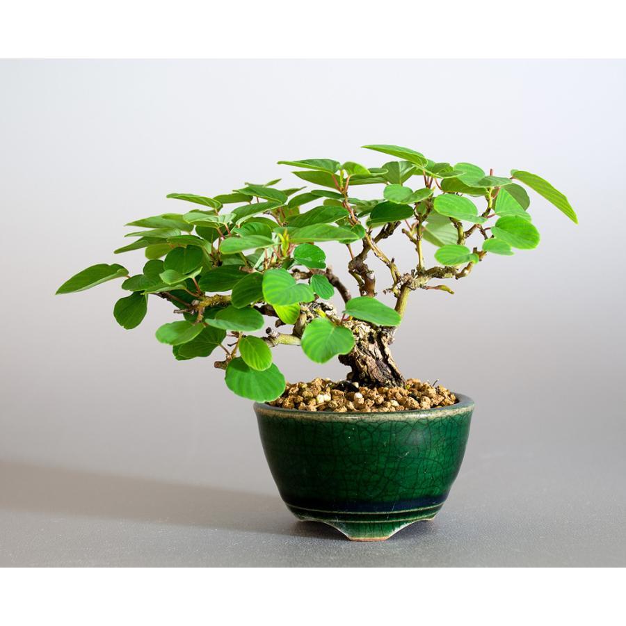ミニ盆栽 クマヤナギ盆栽 熊柳(くまやなぎ・ミニ盆栽 熊柳) 小さな盆栽 4182 e-bonsai