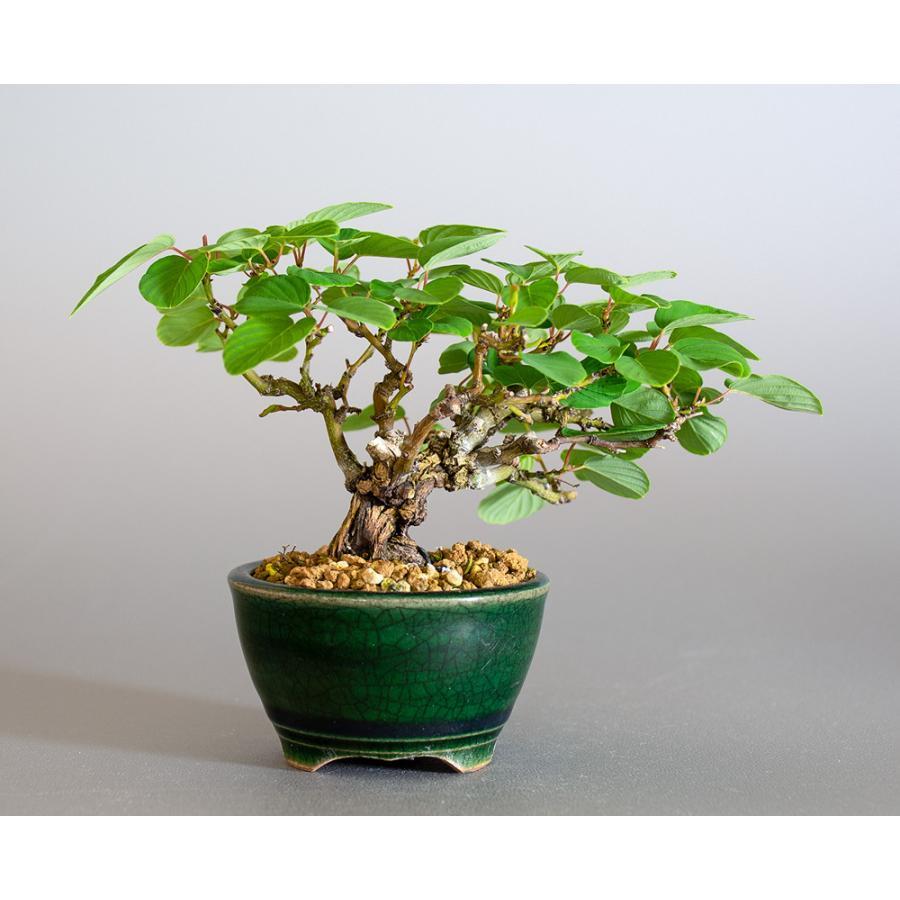 ミニ盆栽 クマヤナギ盆栽 熊柳(くまやなぎ・ミニ盆栽 熊柳) 小さな盆栽 4182 e-bonsai 02