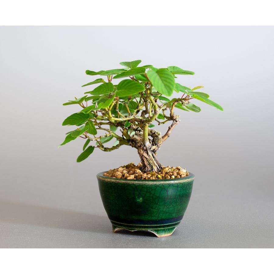 ミニ盆栽 クマヤナギ盆栽 熊柳(くまやなぎ・ミニ盆栽 熊柳) 小さな盆栽 4182 e-bonsai 03