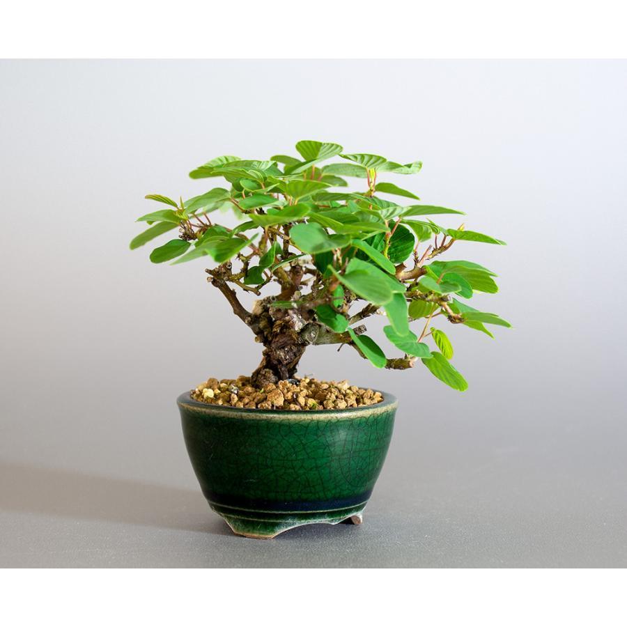 ミニ盆栽 クマヤナギ盆栽 熊柳(くまやなぎ・ミニ盆栽 熊柳) 小さな盆栽 4182 e-bonsai 04