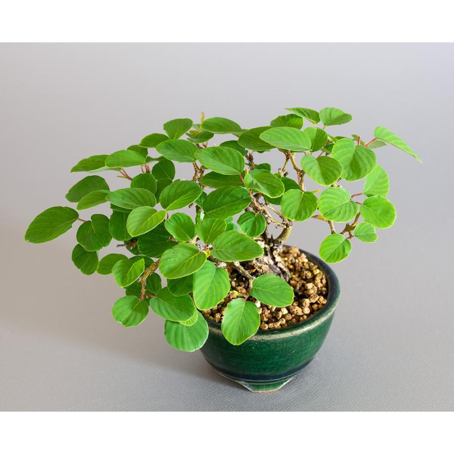 ミニ盆栽 クマヤナギ盆栽 熊柳(くまやなぎ・ミニ盆栽 熊柳) 小さな盆栽 4182 e-bonsai 05