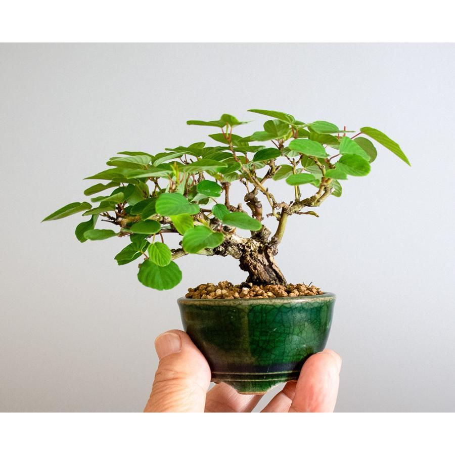 ミニ盆栽 クマヤナギ盆栽 熊柳(くまやなぎ・ミニ盆栽 熊柳) 小さな盆栽 4182 e-bonsai 06