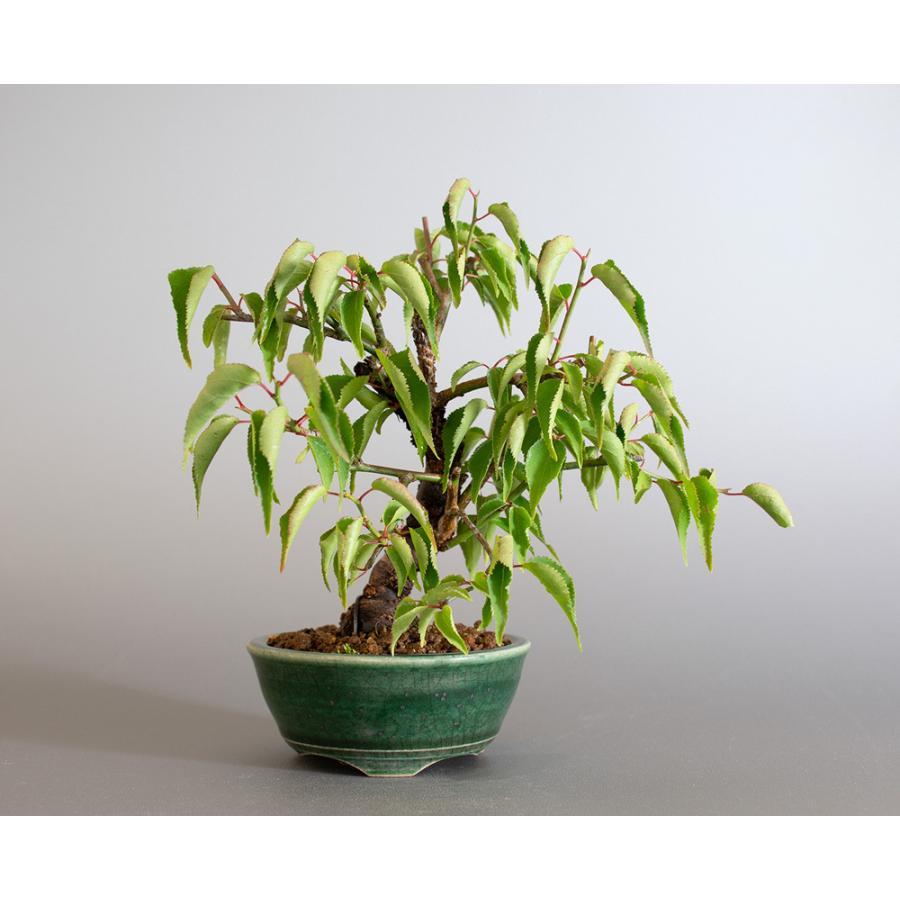盆栽 コウシュウヤバイ盆栽(こうしゅうやばい・甲州野梅 盆栽)ミニ盆栽 小品盆栽 4183 e-bonsai