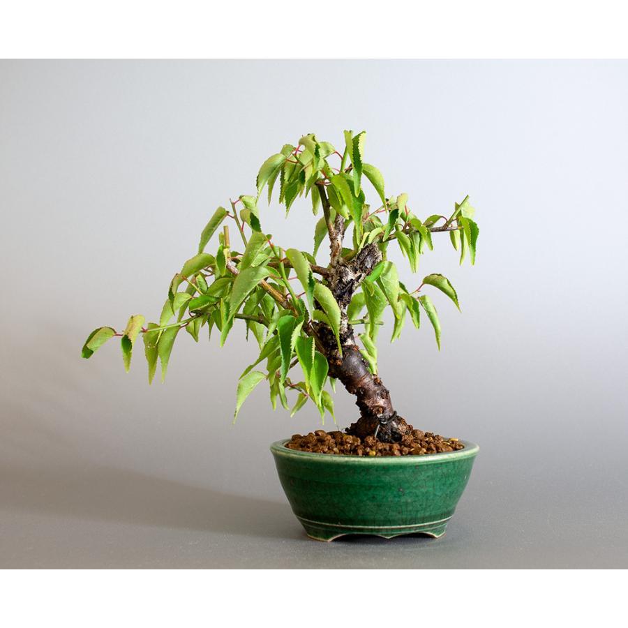 盆栽 コウシュウヤバイ盆栽(こうしゅうやばい・甲州野梅 盆栽)ミニ盆栽 小品盆栽 4183 e-bonsai 02