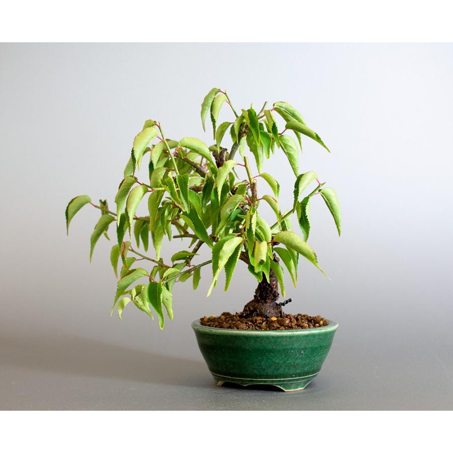 盆栽 コウシュウヤバイ盆栽(こうしゅうやばい・甲州野梅 盆栽)ミニ盆栽 小品盆栽 4183 e-bonsai 03