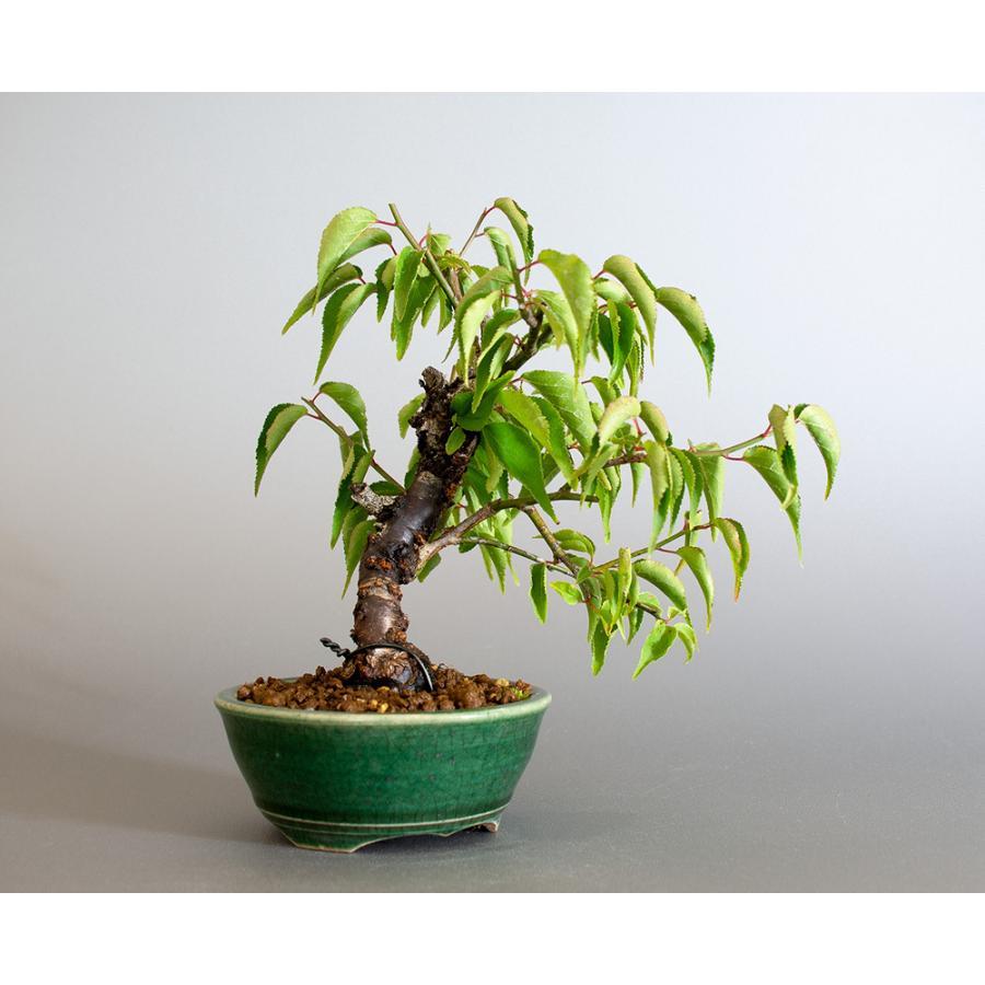 盆栽 コウシュウヤバイ盆栽(こうしゅうやばい・甲州野梅 盆栽)ミニ盆栽 小品盆栽 4183 e-bonsai 04