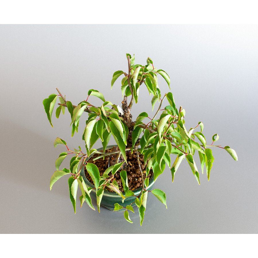 盆栽 コウシュウヤバイ盆栽(こうしゅうやばい・甲州野梅 盆栽)ミニ盆栽 小品盆栽 4183 e-bonsai 05