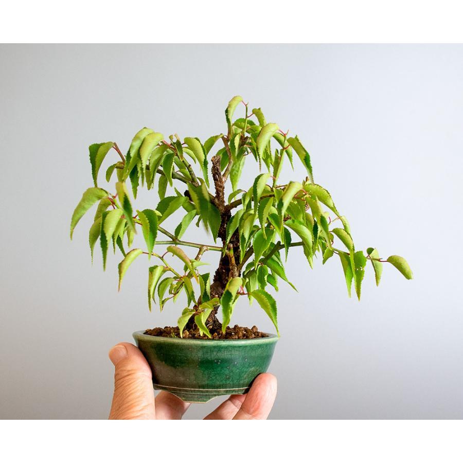 盆栽 コウシュウヤバイ盆栽(こうしゅうやばい・甲州野梅 盆栽)ミニ盆栽 小品盆栽 4183 e-bonsai 06