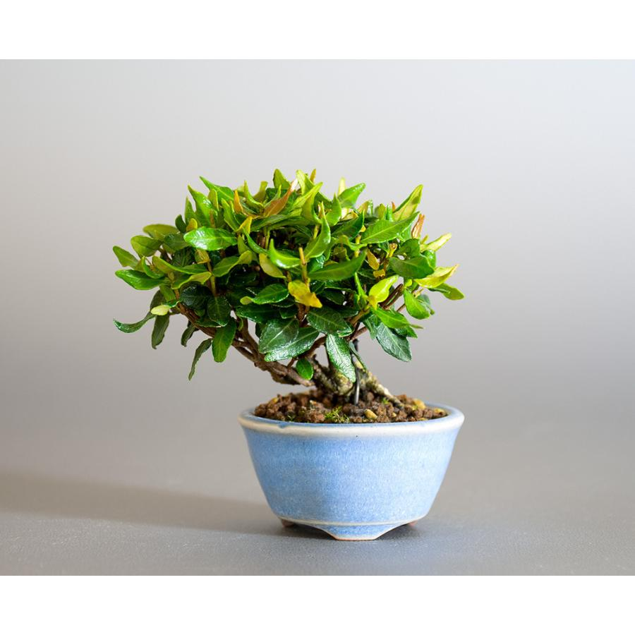 豆盆栽 チリメンカズラ盆栽 縮緬葛(ちりめんかずら・小さな盆栽 縮緬葛)小盆栽 4185 e-bonsai