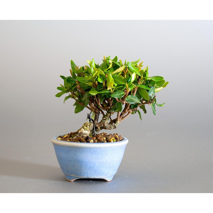 豆盆栽 チリメンカズラ盆栽 縮緬葛(ちりめんかずら・小さな盆栽 縮緬葛)小盆栽 4185 e-bonsai 02