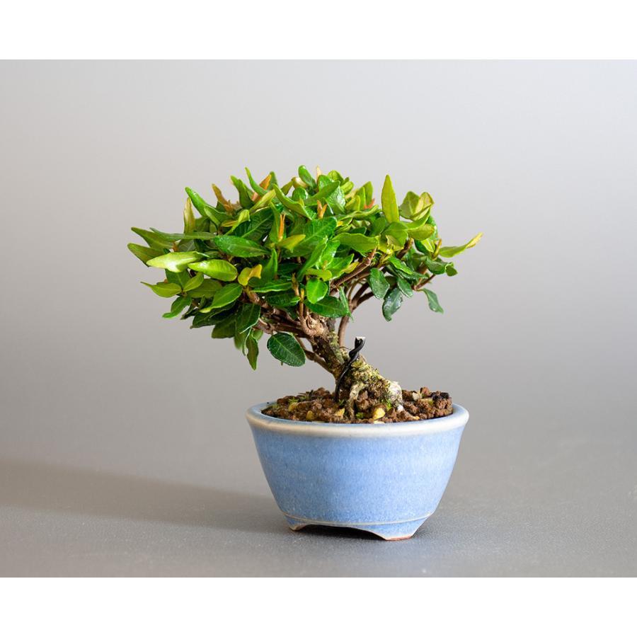 豆盆栽 チリメンカズラ盆栽 縮緬葛(ちりめんかずら・小さな盆栽 縮緬葛)小盆栽 4185 e-bonsai 03
