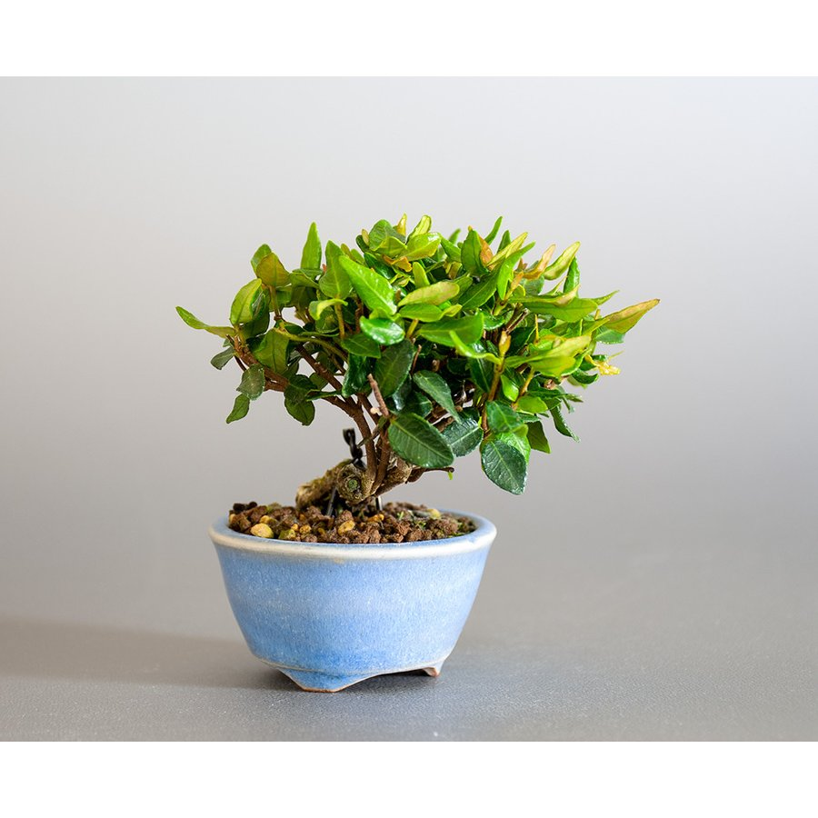 豆盆栽 チリメンカズラ盆栽 縮緬葛(ちりめんかずら・小さな盆栽 縮緬葛)小盆栽 4185 e-bonsai 04