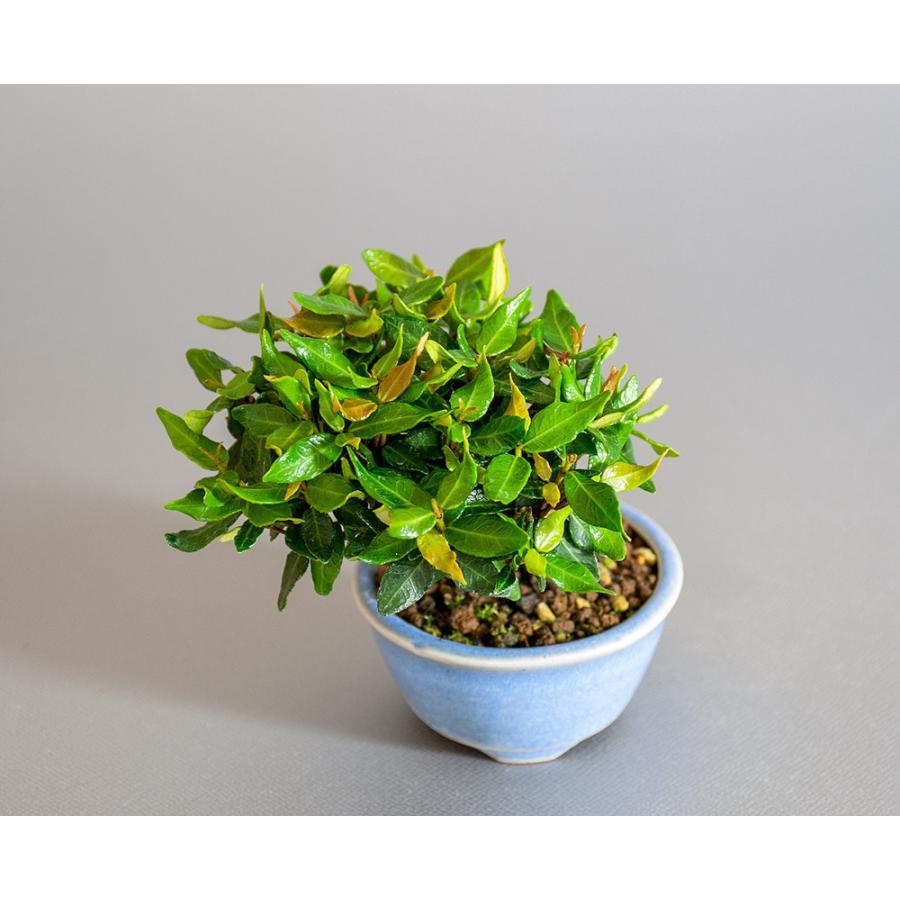 豆盆栽 チリメンカズラ盆栽 縮緬葛(ちりめんかずら・小さな盆栽 縮緬葛)小盆栽 4185 e-bonsai 05