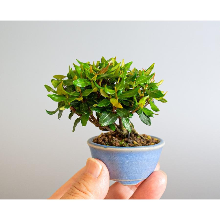 豆盆栽 チリメンカズラ盆栽 縮緬葛(ちりめんかずら・小さな盆栽 縮緬葛)小盆栽 4185 e-bonsai 06