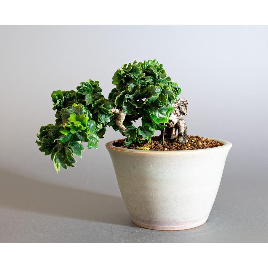 ミニ盆栽 リュウジンヅタ盆栽 竜神蔦(りゅうじんづた・盆栽 竜神蔦)小さな盆栽 4191|e-bonsai