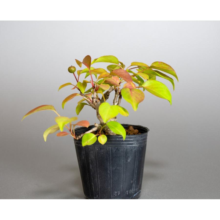盆栽用苗 盆栽素材 マメナシ盆栽 ミニ盆栽素材(まめなし・盆栽 豆梨)m0016|e-bonsai|03