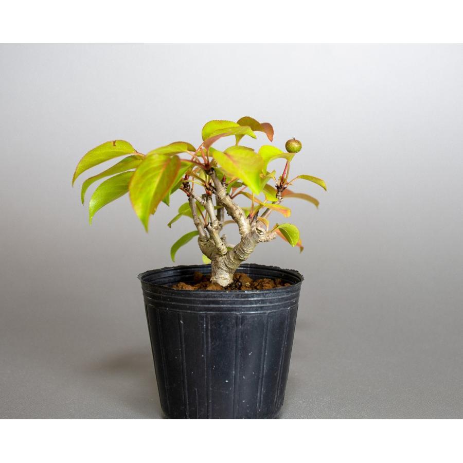 盆栽用苗 盆栽素材 マメナシ盆栽 ミニ盆栽素材(まめなし・盆栽 豆梨)m0016|e-bonsai|04