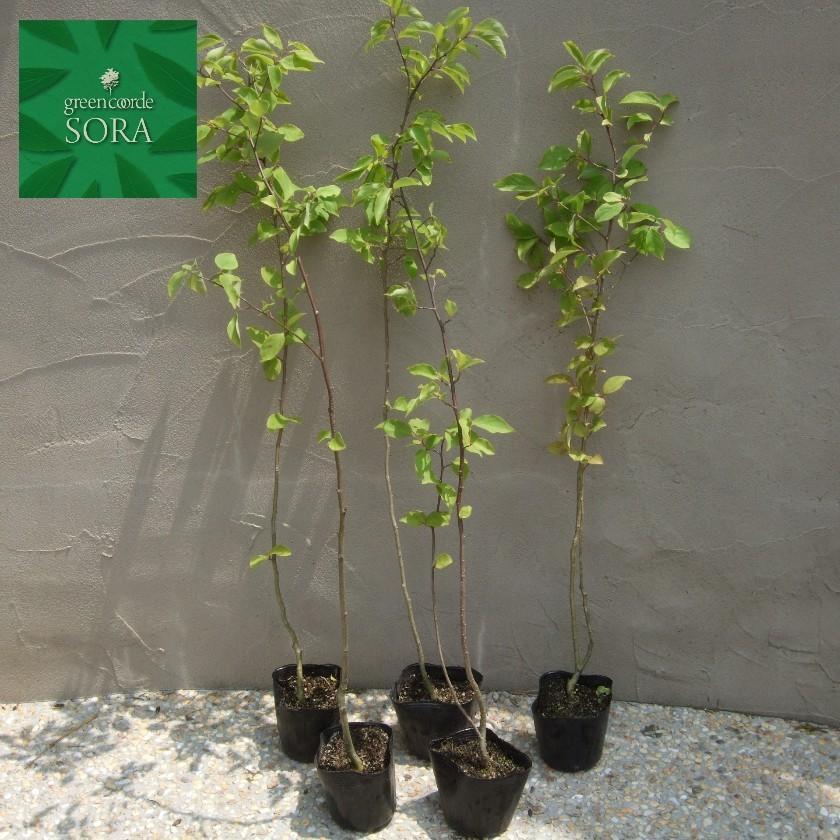 クロミノニシゴリ 10.5cmポット 200本 植木 苗