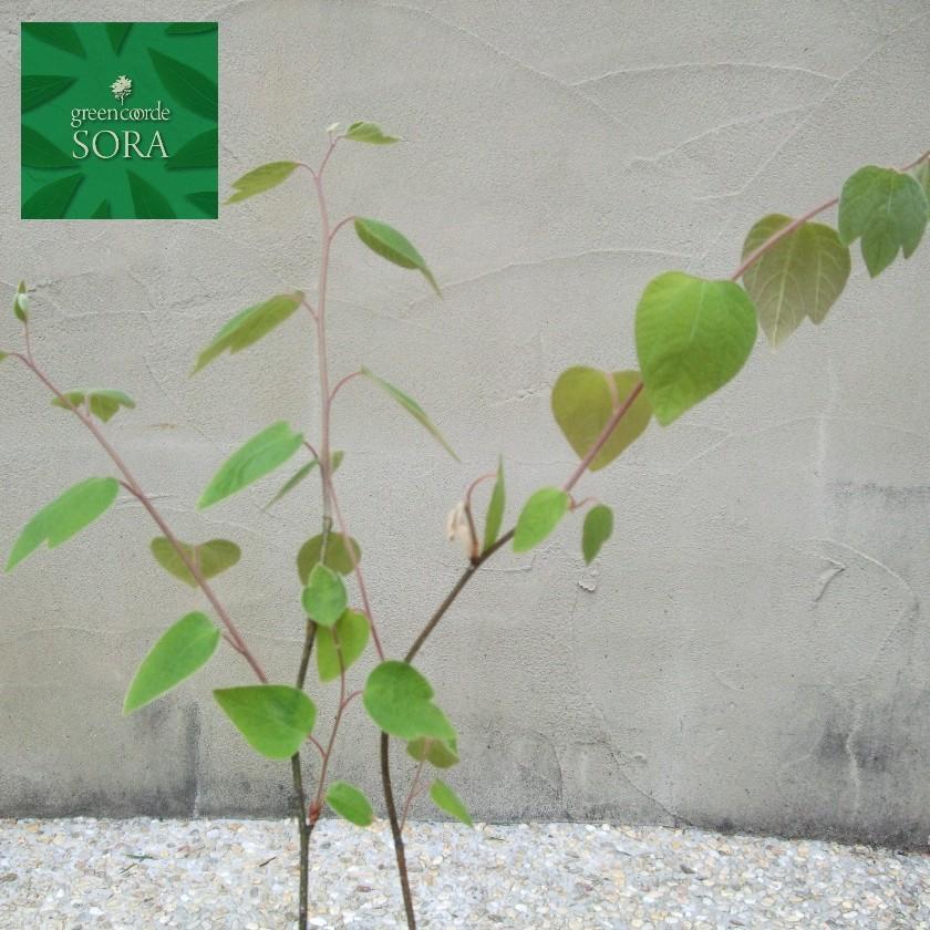 ダンコウバイ 10.5cmポット 200本 植木 苗