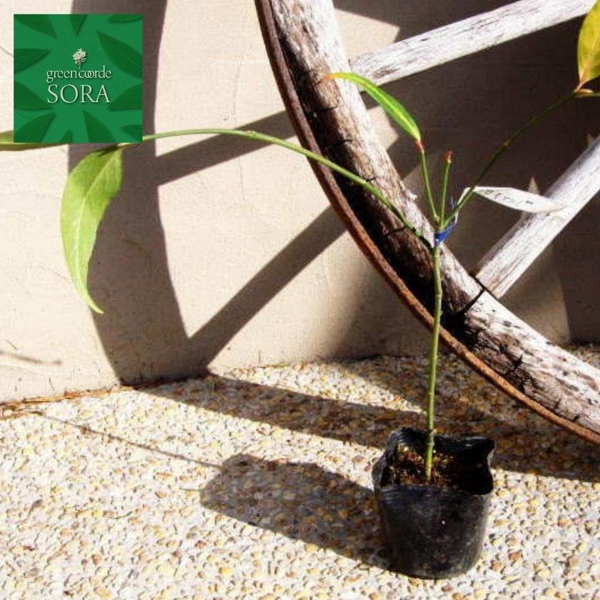 ムラサキマユミ 10.5cmポット 100本 植木 苗