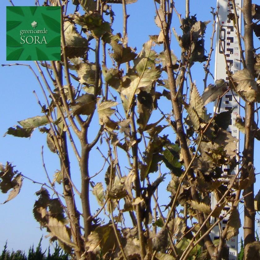 ケヤキ 株立 樹高H:3000mm 植木 苗