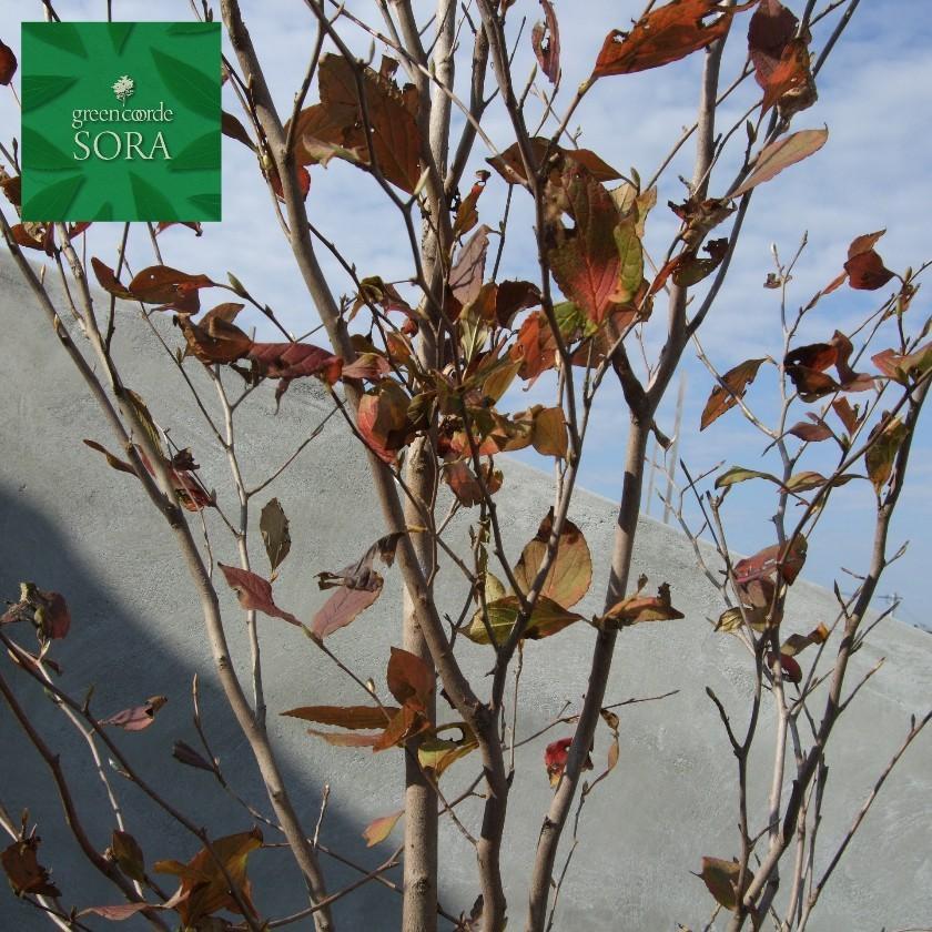 シャラ 株立 樹高H:3000mm 植木 苗