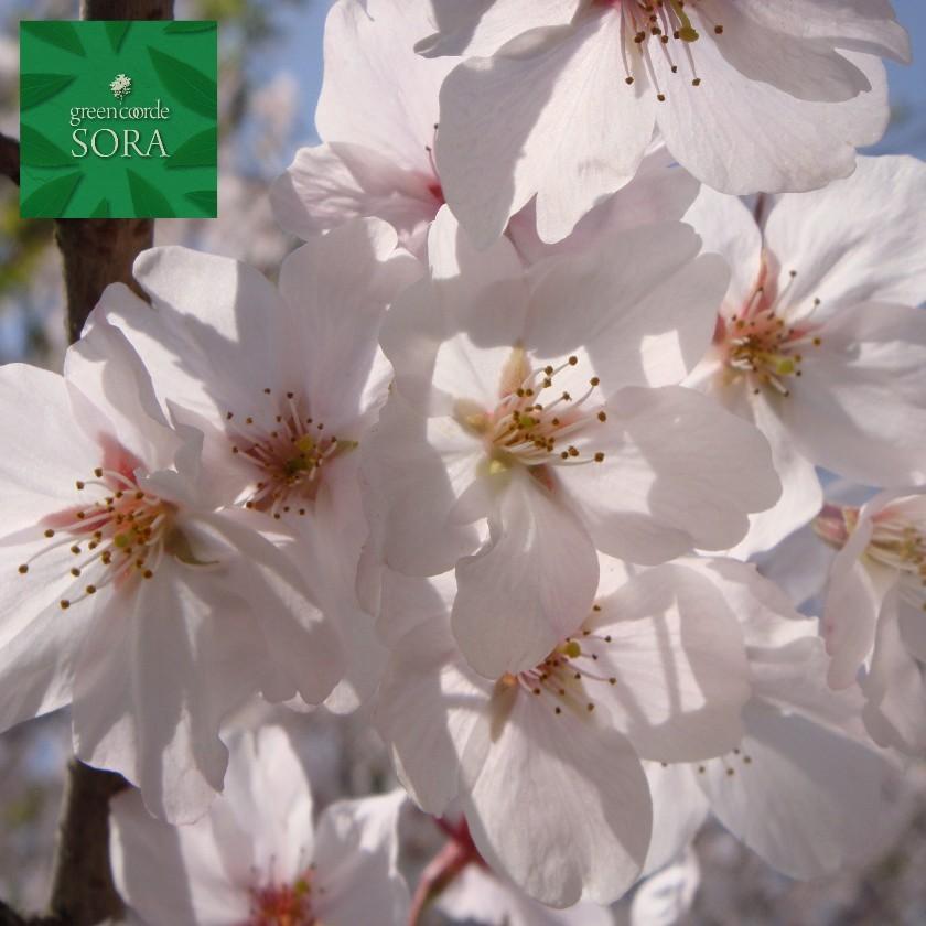 ソメイヨシノ 単木 樹高 H:3000mm 植木 苗