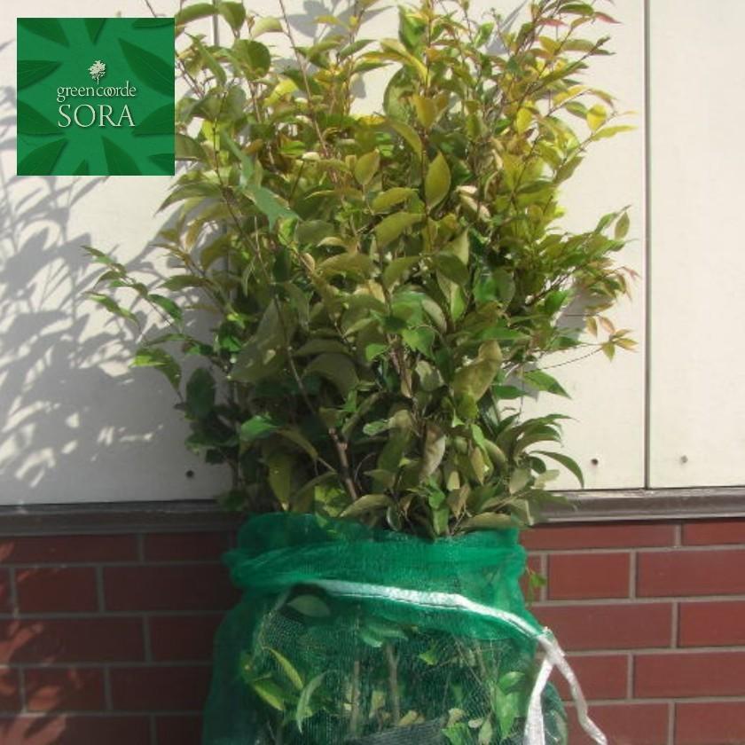 コジイ H500·700mm 100本 鉢底より 植木 苗