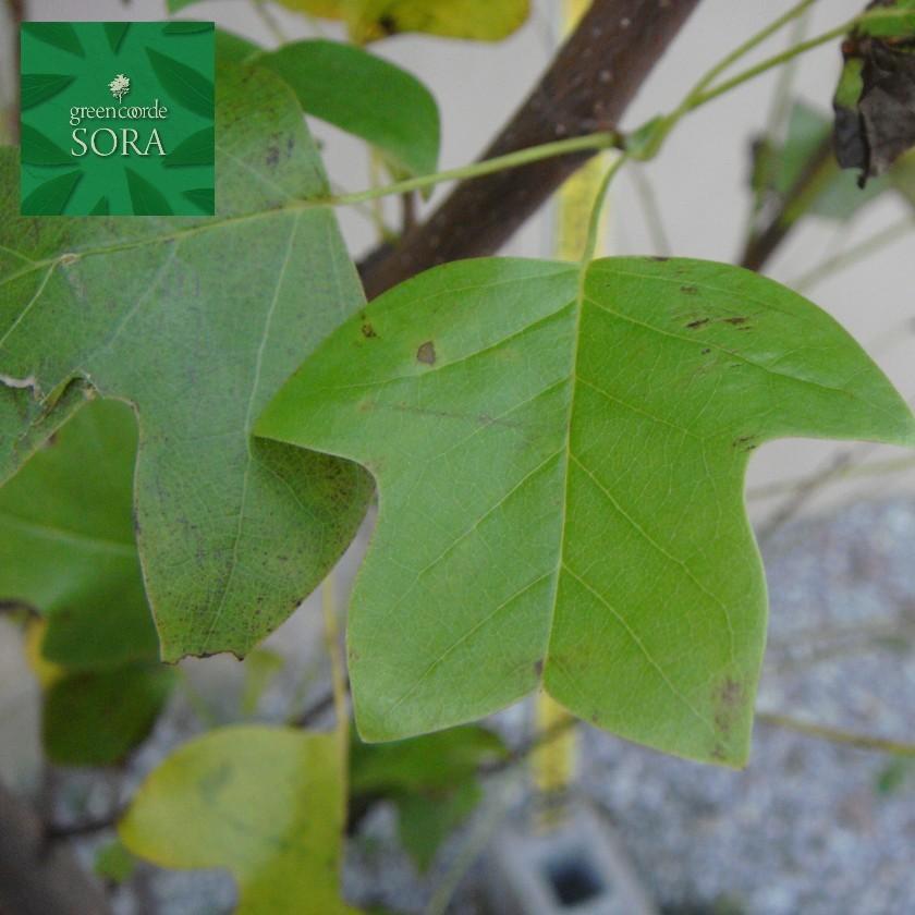 ユリノキ 単木 樹高H:3000mm 植木 苗