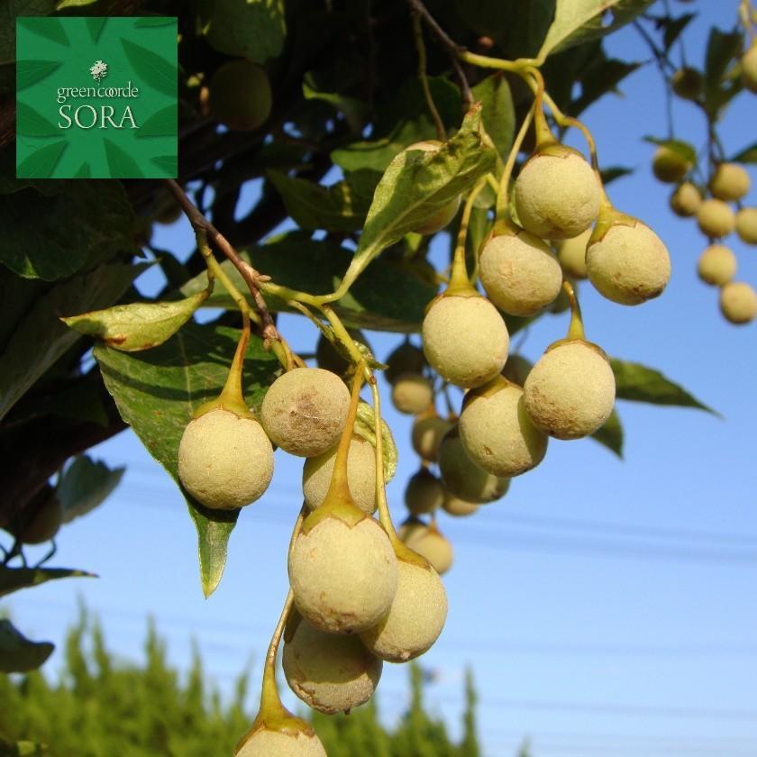 エゴの木 桃 株立 樹高 H:2500mm 植木 苗