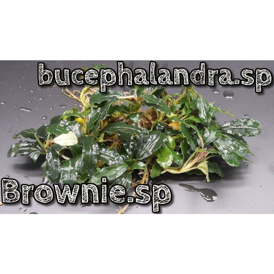 商品追加値下げ在庫復活 ブセファランドラsp 供え ブラウニーsp Bcephalandra.sp Brownie.sp