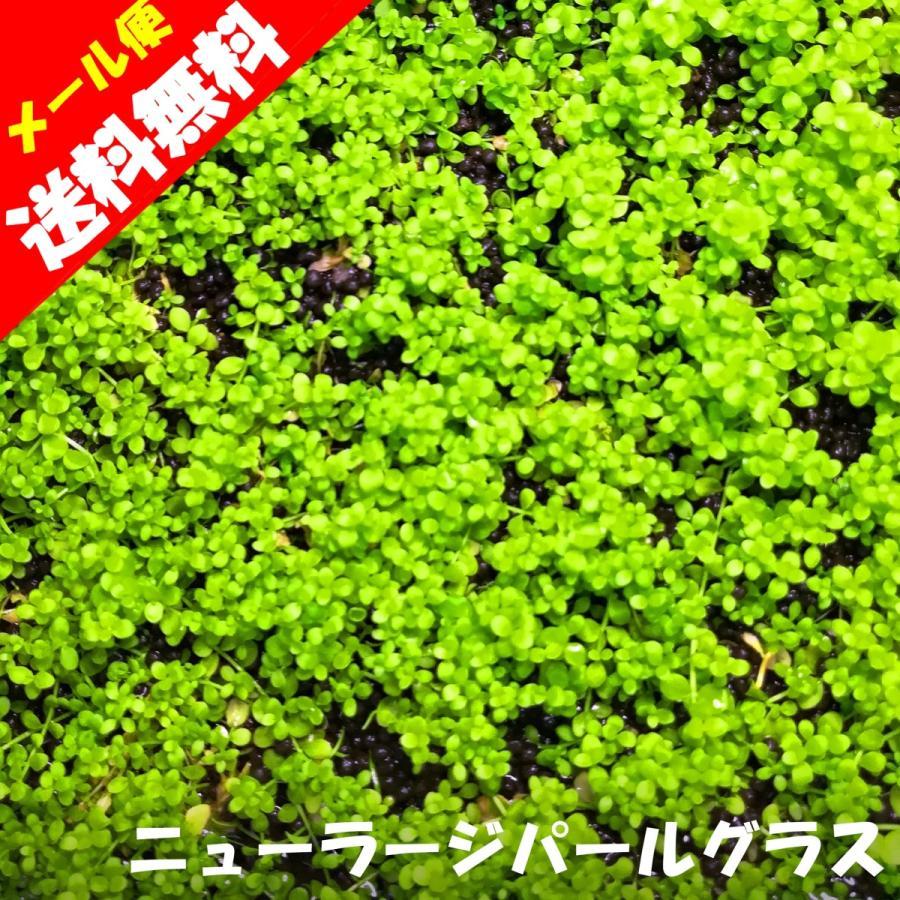 (水草)国産 ニューラージパールグラス(無農薬)前景草 水上葉