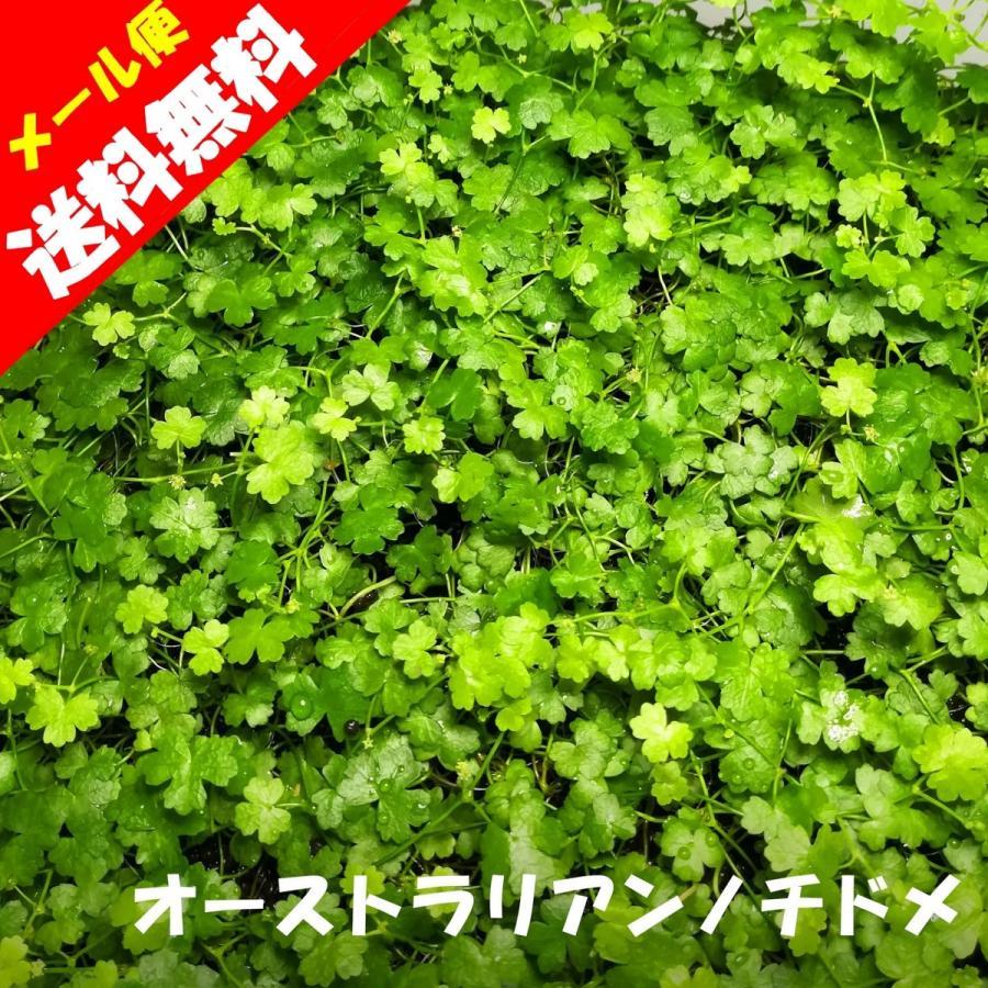 (水草)国産 オーストラリアンノチドメ (無農薬)前景草 中景草 水上葉