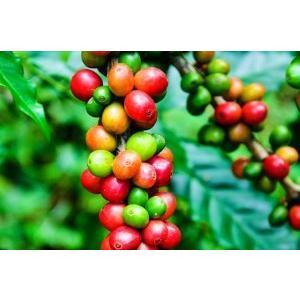 エクーア シベットコーヒー ベンゲット産 豆 100g 送料無料 高級 アラビカ種 ジャコウネコ コピルアク 贈答 ギフト プレゼント 猫 珈琲豆 焙煎|eei7|04