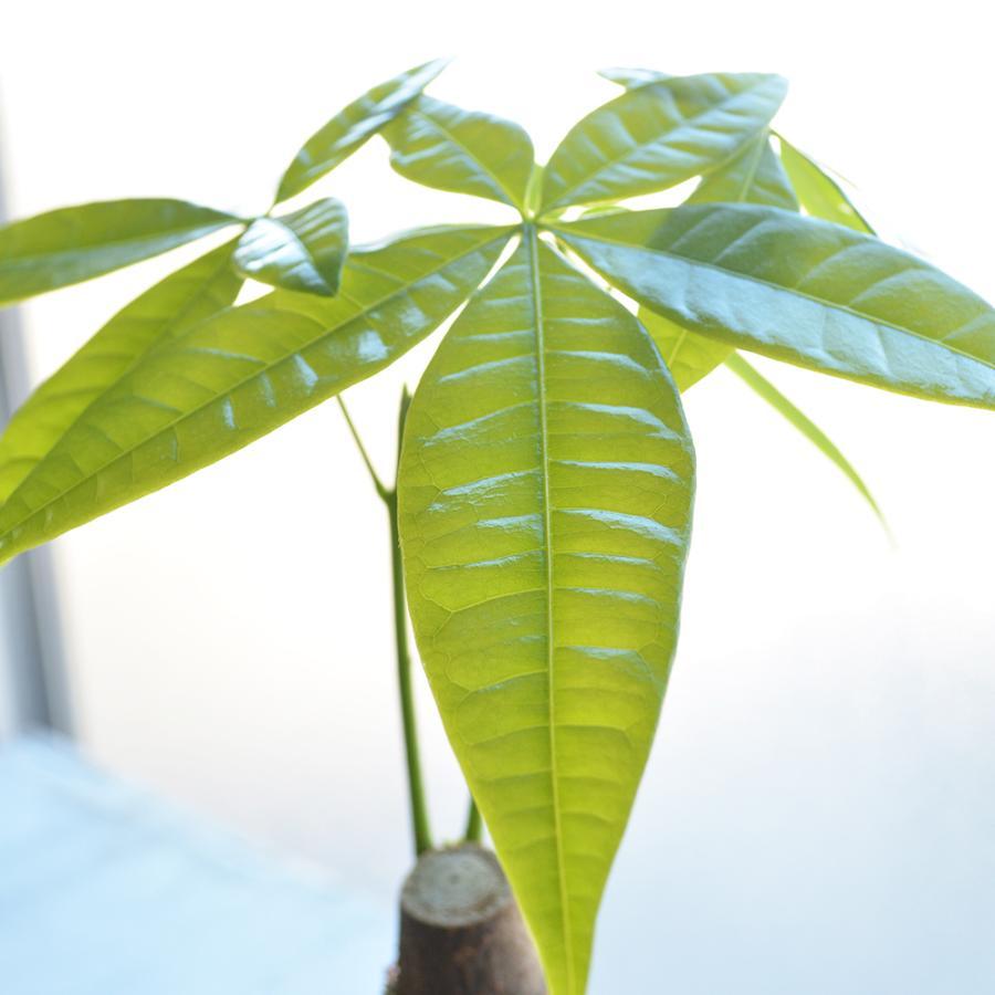 観葉植物 4号鉢 パキラ アートストーン植 受皿付|elfleur|03