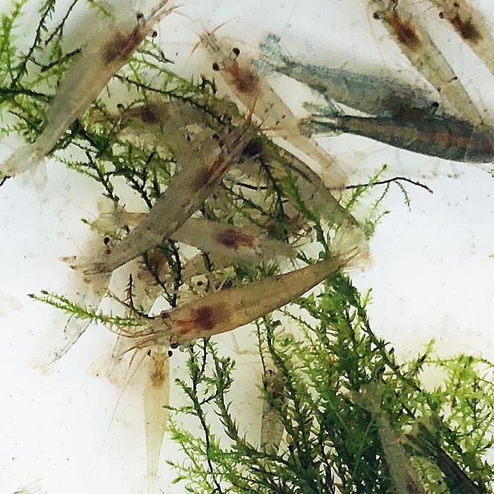 【数量限定】ミナミヌマエビ 50匹 【水槽内でも殖える!水槽内のコケにも効果的】 エビ 飼育用・餌用にも!|emuwaifarm|02