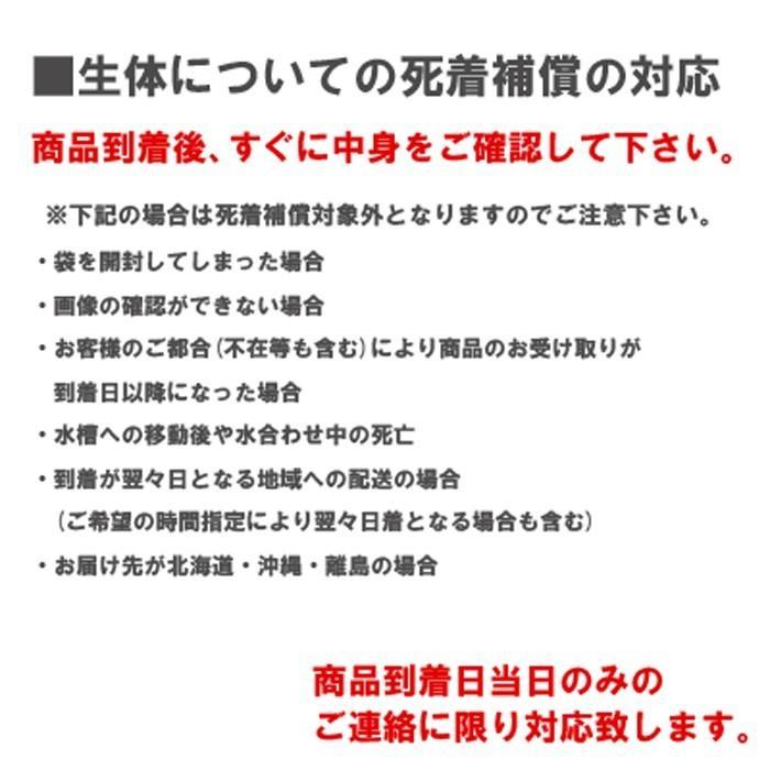 水草 国産 無農薬 アナカリス メダカ 金魚藻 オオカナダモ(5本) メール便送料無料|emuwaifarm|02